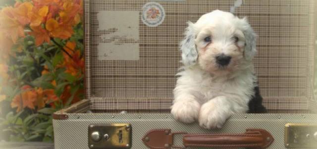 Verplichte vaccinatie hondsdolheid bij import puppies