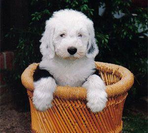 DJ als pup (Foto van de eerste eigenaar).