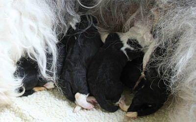 6 pups geboren bij Brwyn's