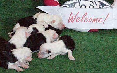 6 pups geboren bij Cap-a-Pie Cartouche