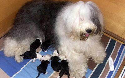 6 pups geboren bij Wicked Wisdom