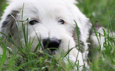 Bobtail pup gestolen uit tuin Hongaarse fokker