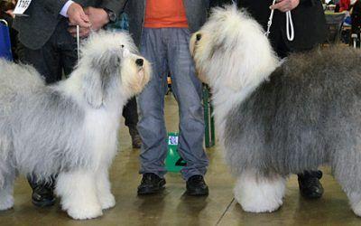 Milagro Cachorros Airin BOB in Antwerpen