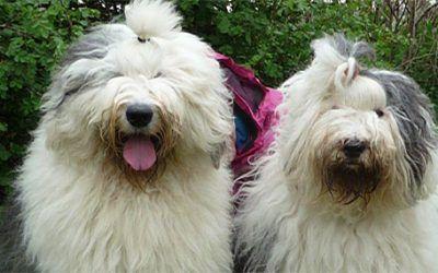 Na ruim 2 jaar worden er weer pups verwacht bij Vigilat's