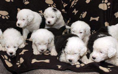 Nog 4 Bobtail pups beschikbaar bij Loving Affections