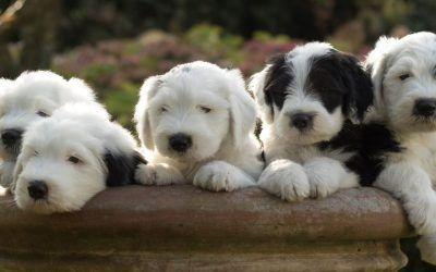 Nog 4 Wicked Wisdom puppies beschikbaar