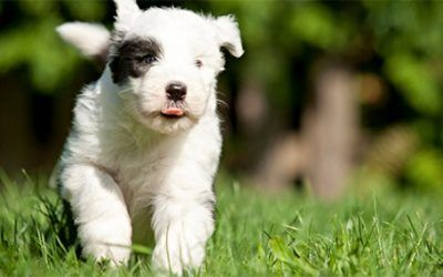 Nog vier Bobtail pups beschikbaar bij Tequila's Oase