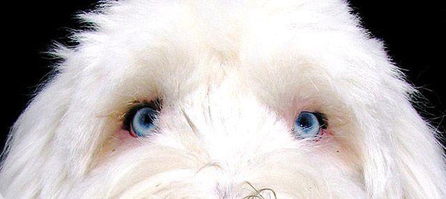PRA en Cataract: oogziektes bij OES