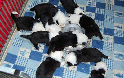 Pups Hairy Bears zijn bijna een maand oud