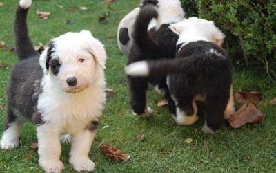 Twee Hockesberghe's Walc pups zoeken nog een baasje