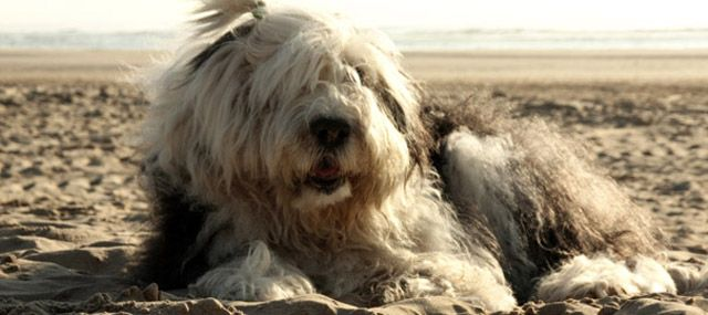 Youri: a very very Old English Sheepdog